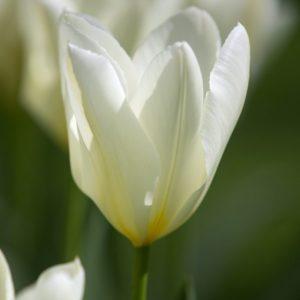 Bulbes de tulipes «White Emperor» paquet de 10