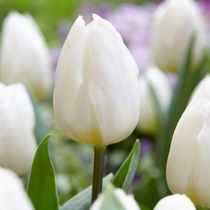 Bulbes de tulipes «White Flag» paquet de 10