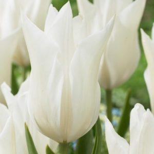 Bulbes de tulipes «White Triumphator» paquet de 10