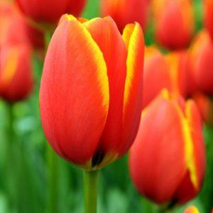 Bulbes de tulipes «World's Favorite» paquet de 10