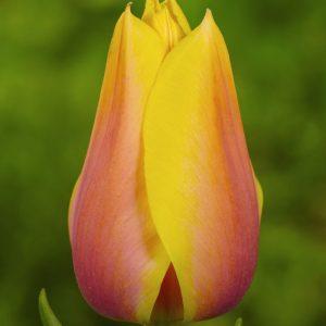 Bulbes de tulipes «Blushing Beauty» paquet de 10