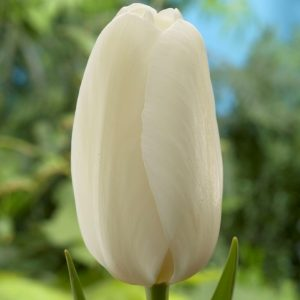 Bulbes de tulipes «Catherina» paquet de 10