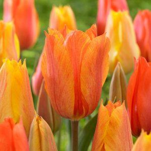 Bulbes de tulipes «El Nino» paquet de 10