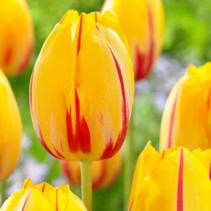 Bulbes de tulipes «Olympic Flame» paquet de 10