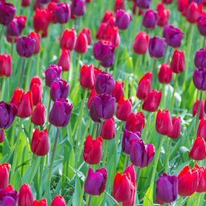 Bulbes de tulipes «Purple Teddy Mix» paquet de 10