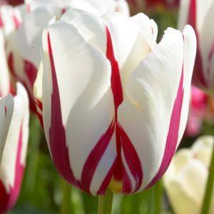 Bulbes de tulipes «World Expression» paquet de 10